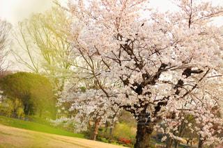 桜,大阪,夕暮れ,道,万博記念公園