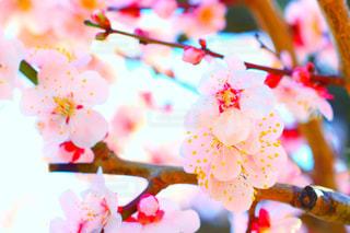 梅の花の写真・画像素材[1136345]