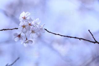 空,花,桜,枝,インスタ映え