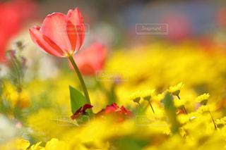 花,かわいい,カラフル,チューリップ,鮮やか,明るい,インスタ映え