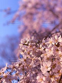 花,春,桜,鮮やか,満開,枝垂れ桜