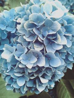 紫陽花の写真・画像素材[555816]