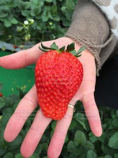 食べ物,赤,いちご,大きい,甘い,いちご狩り,栃木県,スカイベリー