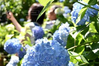 花,自撮り,屋外,紫陽花,梅雨,鎌倉,明月院,あじさい寺,梅雨の晴れ間