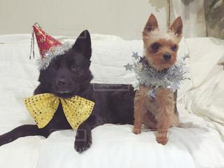 パーティー用におしゃれした犬たちの写真・画像素材[1195770]