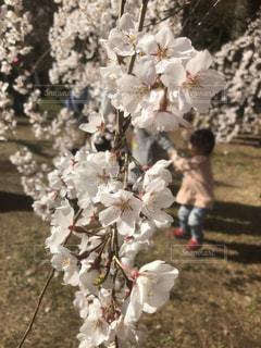 花,桜,京都