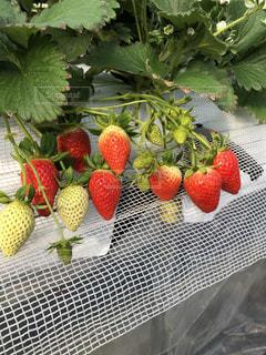 食べ物,赤,いちご,フルーツ,果物,果実,いちご狩り
