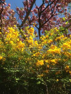 京都,八重咲き,左京区,山吹