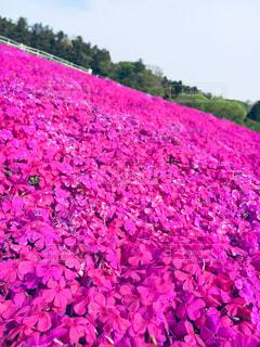 自然,花,春,ピンク,芝桜,千葉県,富田さとにわ耕園