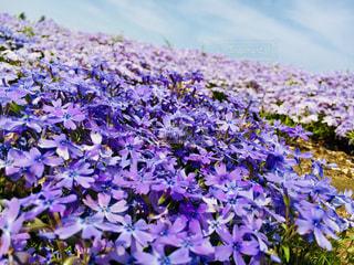 自然,花,春,芝桜,千葉県,富田さとにわ耕園