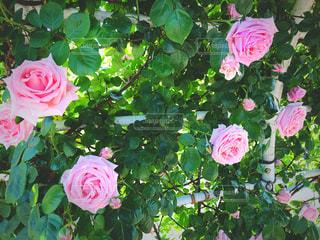 自然,ピンク,バラ,バラ園,東京都,初夏,素材,品川
