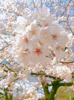 自然,春,桜,ピンク,青空,上野,東京都,上野公園,フォトジェニック