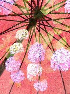 雨,傘,紫陽花