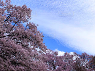 自然,花,桜,屋外,ピンク,青空,4月,高遠城址公園