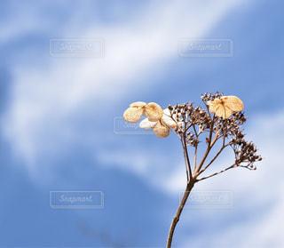 冬の紫陽花の写真・画像素材[1105622]