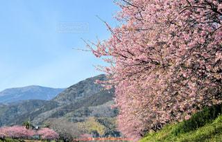 自然,風景,空,桜,屋外,ピンク,青空,伊豆,静岡,河津桜,河津,2018年3月
