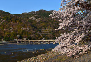 自然,桜,屋外,京都,青空,嵐山,桂川,2018年4月