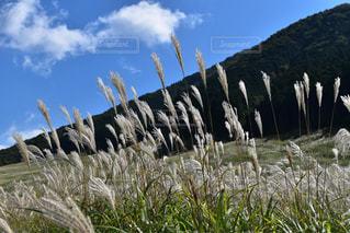 箱根仙石原のススキの写真・画像素材[1135547]