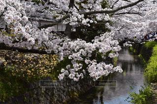 哲学の道の桜の写真・画像素材[1416147]