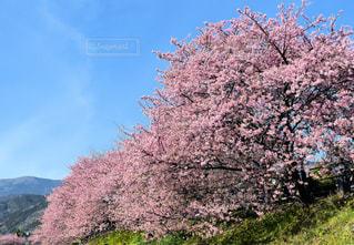 河津桜の写真・画像素材[1443555]