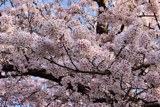 花,春,桜,屋外,京都,ピンク,哲学の道,快晴,桃色,草木,ソメイヨシノ