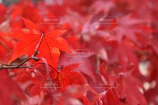 真っ赤な紅葉の写真・画像素材[1690636]