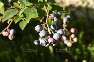 自然,庭,屋外,枝,紫,フルーツ,果物,ブルーベリー,ブルー,果実,草木,フレッシュ,アントシアニン