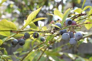 食べ物,自然,庭,屋外,枝,紫,フルーツ,果物,ブルーベリー,ブルー,果実,食材,草木,フレッシュ,アントシアニン