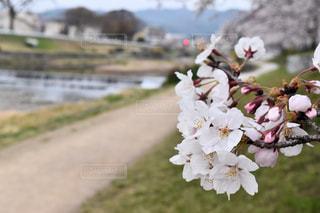 鴨川沿いの桜の写真・画像素材[2019005]