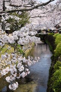 疏水の桜の写真・画像素材[2028219]