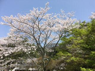 満開の桜と、若葉の紅葉が映える青空の写真・画像素材[1096727]