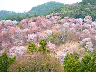 花,桜,奈良,吉野山,千本桜