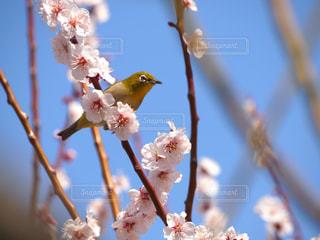 2018.3.13大阪@大阪城公園の写真・画像素材[1122685]