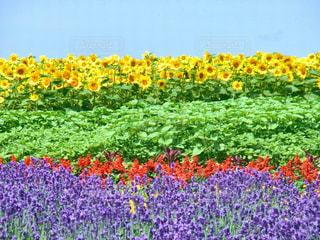 💐🌻カラフルなお花畑🌻💐の写真・画像素材[1128544]