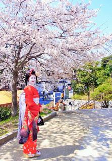 🌸桜のかんざしをつけた舞妓🌸の写真・画像素材[1129891]