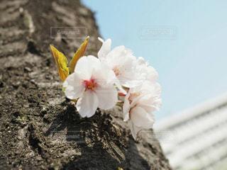 卒業は桜の季節の写真・画像素材[1087941]
