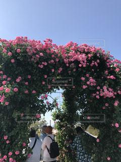 花,屋外,薔薇,旅行