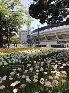 横浜スタジアムのチューリップの写真・画像素材[1126186]