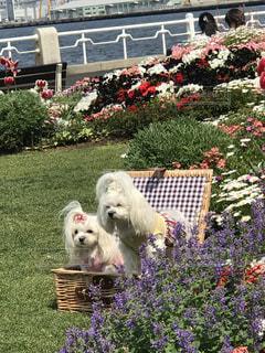 犬,公園,花,屋外,山下公園,春コーデ