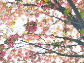 自然,空,花,桜,木,植物,雲,青空,景色,♡,造幣局,数珠掛桜,花のまわりみち