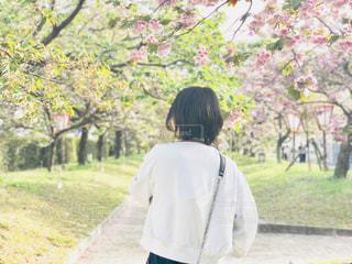 自然,空,花,春,桜,木,植物,雲,青空,景色,道,♡,造幣局,数珠掛桜,花のまわりみち