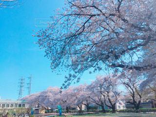 校庭の満開の桜の写真・画像素材[1094940]