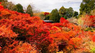 森の中の赤いツリーの写真・画像素材[906299]