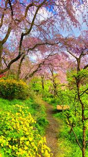 原谷苑の桜は満開の写真・画像素材[1123692]