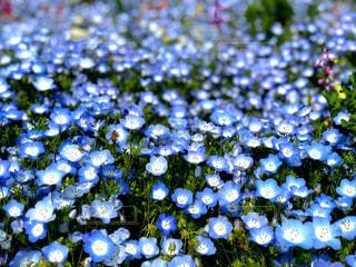 ネモフィラの青と蜜蜂の写真・画像素材[1142132]
