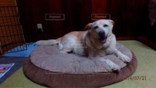 ベッドの上に横たわる犬の写真・画像素材[1202237]