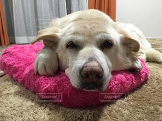 敷物の上に横たわる犬の写真・画像素材[1202424]