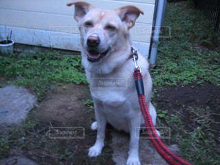 ひもに茶色と白犬の写真・画像素材[1214096]
