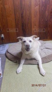 床に横になっている茶色と白犬の写真・画像素材[1214098]