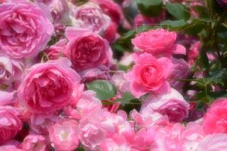 屋外,ピンク,バラ,神奈川県,日中,ばら,春薔薇,春バラ,春ばら